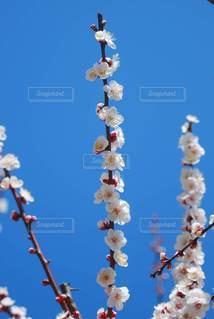 梅の写真・画像素材[3014369]