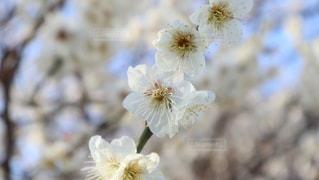 梅の写真・画像素材[3016226]