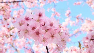 桜の花の写真・画像素材[3034407]
