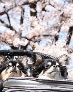 チワワと桜の写真・画像素材[3041199]