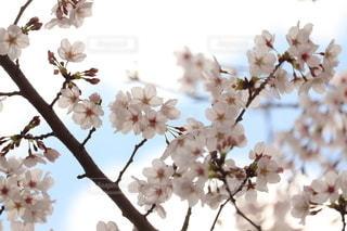 自然,風景,空,花,春,桜,木,ピンク,白,花束,雲,きれい,青,枝,花見,景色,鮮やか,お花見,イベント,雰囲気,草木,3月,桜の花,4月,さくら,花粉,雄しべ,雌しべ,ブロッサム,配置
