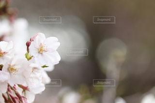 桜の写真・画像素材[3057677]