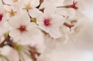 桜の写真・画像素材[3057743]