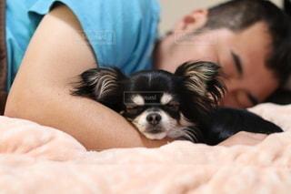 お昼寝中のチワワと男性の写真・画像素材[3172409]