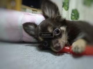 おもちゃで遊ぶチワワの写真・画像素材[3176133]