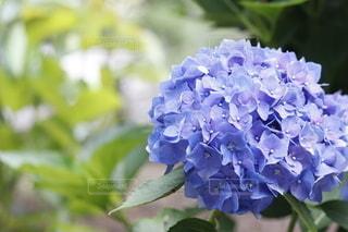 紫陽花クローズアップの写真・画像素材[3367581]