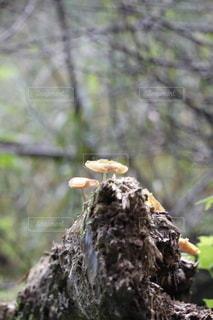 岩の上に生えるキノコの写真・画像素材[3367587]