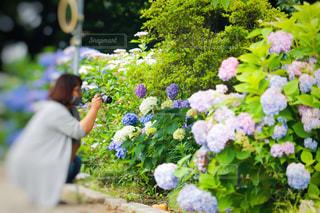 紫陽花を撮影する女性の写真・画像素材[3374954]