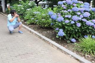 紫陽花を撮影する男性の写真・画像素材[3374962]