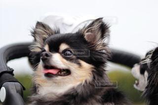 笑顔のチワワの写真・画像素材[3621570]