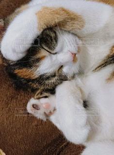 猫,動物,ペット,クッション,子猫,お昼寝,マンチカン,ネコ