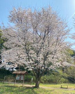 空,花,春,屋外,景色,草,樹木,草木,さくら