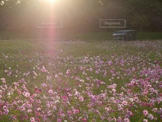 自然,空,花,屋外,太陽,コスモス,日光,景色,夜明け,光,日の出,秋桜,草木,サンシャイン