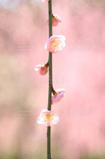 しだれ梅の写真・画像素材[3025922]