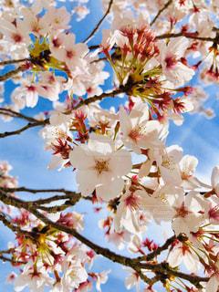 空,花,春,太陽,景色,光,樹木,草木,桜の花,さくら,ブルーム,ブロッサム