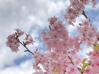 空,花,春,ピンク,太陽,光,樹木,草木,桜の花,さくら,ブルーム,ブロッサム