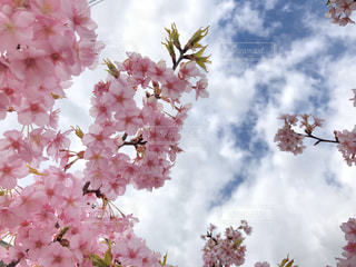 空,花,春,桜,屋外,ピンク,太陽,光,草木,桜の花,さくら,ブルーム,ブロッサム