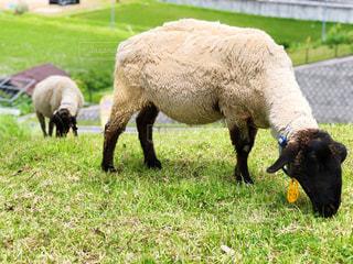 空,動物,屋外,太陽,緑,羊,牧場,景色,光,草,新緑,放牧