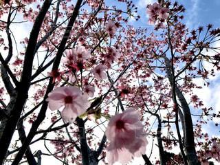 花,春,ピンク,桜の花,さくら
