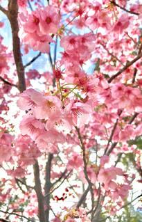 春,桜,ピンク,さ,桜の木,ソメイヨシノ,さくら