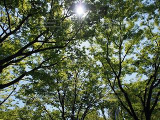 空,太陽,枝,葉,木漏れ日,光,樹木,樹形
