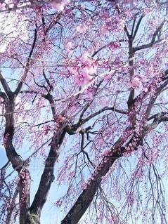 空,花,春,桜,木,ピンク,枝,しだれ桜,花見,樹木,お花見,桜色,草木,桜の花,日中,さくら,ブロッサム