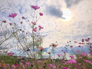 空,公園,花,秋,屋外,ピンク,太陽,草原,コスモス,光,昼,秋桜
