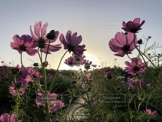 空,花,ピンク,太陽,コスモス,光,夕陽,秋桜,夕焼