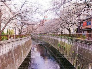 春,桜,橋,木,水面,花見,お花見,イベント,中目黒,池尻大橋