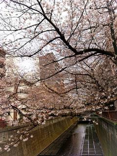 春,桜,橋,木,屋外,水面,花見,お花見,イベント,中目黒,池尻大橋