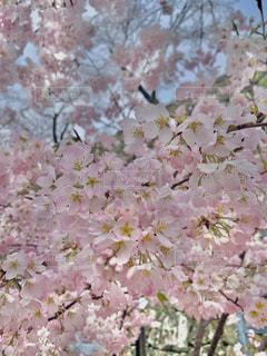 花,春,ピンク,鮮やか,桜の花,さくら,ブルーム,ブロッサム