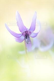 カタクリの花1輪の写真・画像素材[4321382]