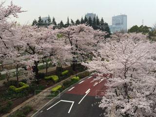 空,花,春,桜,屋外,花見,サクラ,イベント,桜の花,さくら,ブロッサム