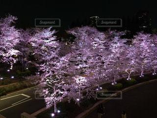自然,花,春,桜,屋外,花見,夜桜,景色,イベント,風物詩,さくら,ブロッサム