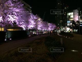 春,桜,夜,屋外,花見,夜桜,サクラ,樹木,風物詩,桜の木,さくら
