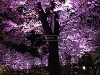 花,春,桜,屋外,花見,景色,サクラ,樹木,桜の木,さくら,ブロッサム