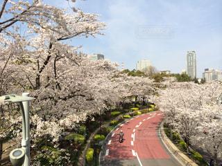 空,花,春,桜,屋外,花見,サクラ,樹木,風物詩,さくら,ブロッサム