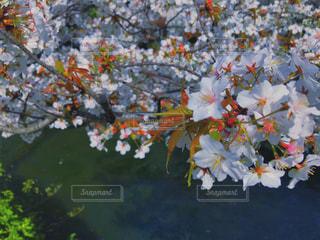 花,桜,サクラ,絵画,カラー,草木,ブルーム