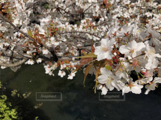 花,春,桜,花束,草木,ブルーム,ブロッサム