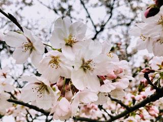 花,春,桜,花束,葉,樹木,草木,桜の花,さくら,ブルーム,ブロッサム,配置,かなり