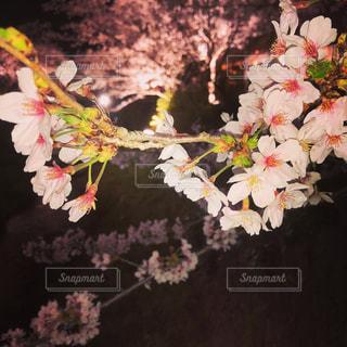 花,屋内,夜桜,鮮やか,装飾,カラー,草木,桜の花,ブルーム,ブロッサム