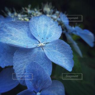 花,青,山,花弁,山野草,アジサイ