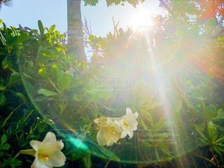 眩しい太陽の光と花の写真・画像素材[2878491]