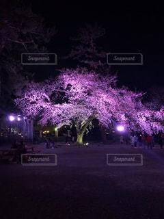 公園,花,春,桜,夜,木,ピンク,花見,満開,樹木,お花見,イベント,桜祭り,小田原