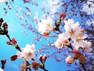 空,春,太陽,青い空,光,出発,桜の花,さくら