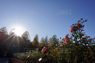 空,花,秋,屋外,太陽,光,日中,花vs太陽