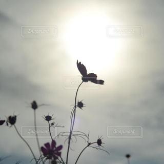 風景,空,花,太陽,コスモス,シルエット,光