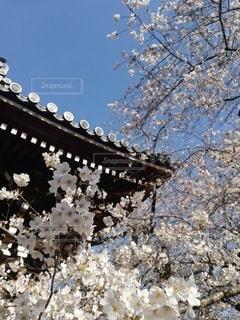 空,花,春,桜,木,屋外,花見,樹木,お花見,イベント