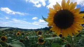 空,夏,太陽,光,向日葵