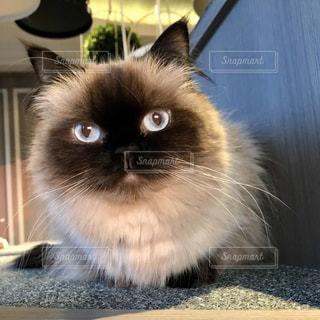 カメラを見つめる猫ちゃんの写真・画像素材[2947303]